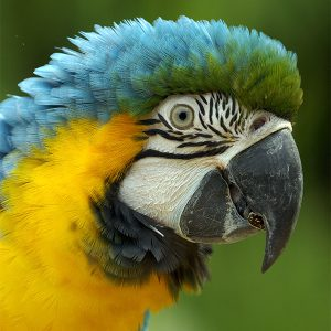 blue and gold macaw featured in cincinnati zoo's wings of wonder event