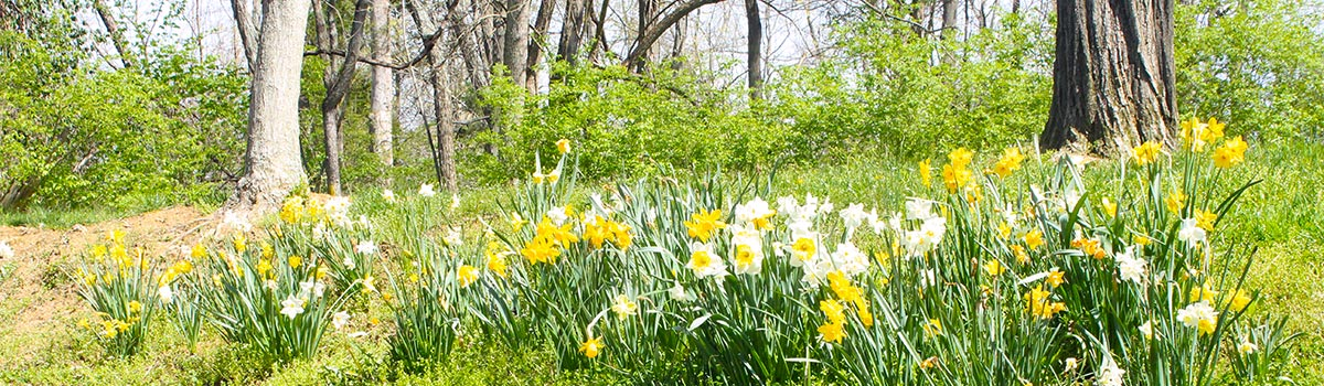 Johnson Hills Park hillside with daffodils