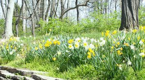 spring daffodils on hillside at johnson hills park